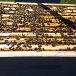 récolte de miel SharePrint
