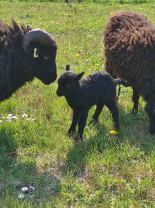 Moutons d'Ouessant Eco-Pâturage